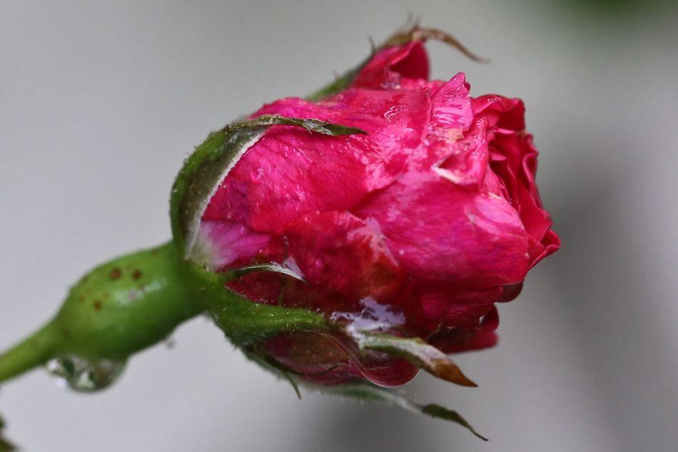 Forstatt blomsterknopper