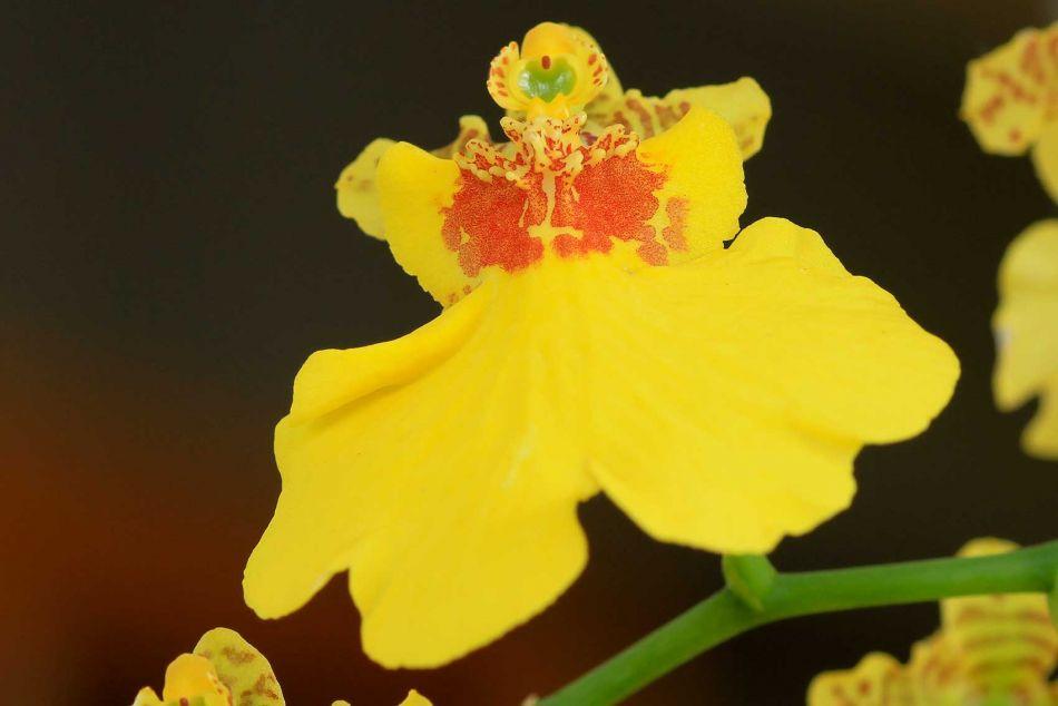 Onciddium Orkide
