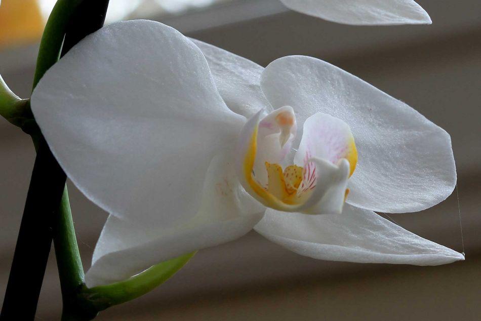 b_950_950_0_00_images_Dagensbilde_orkide_IMG_5108.jpg